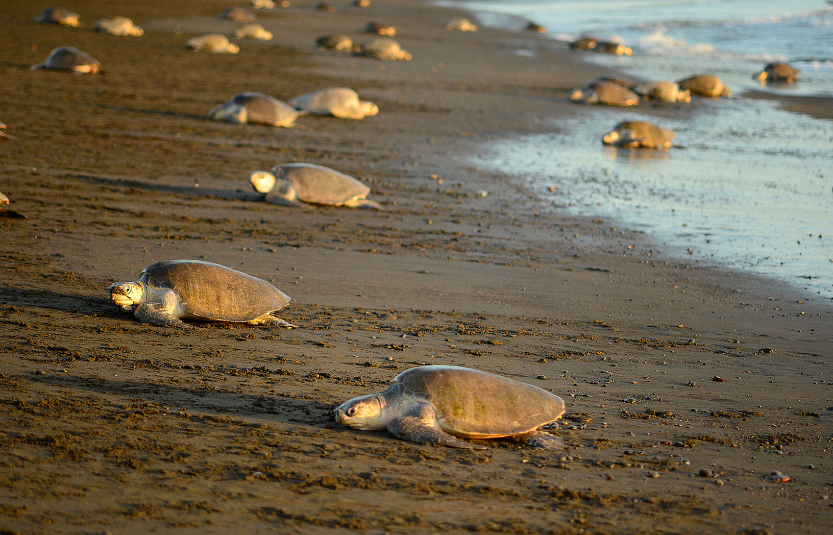 During an arribada thousands of sea turtles arrive together in a short span of time.