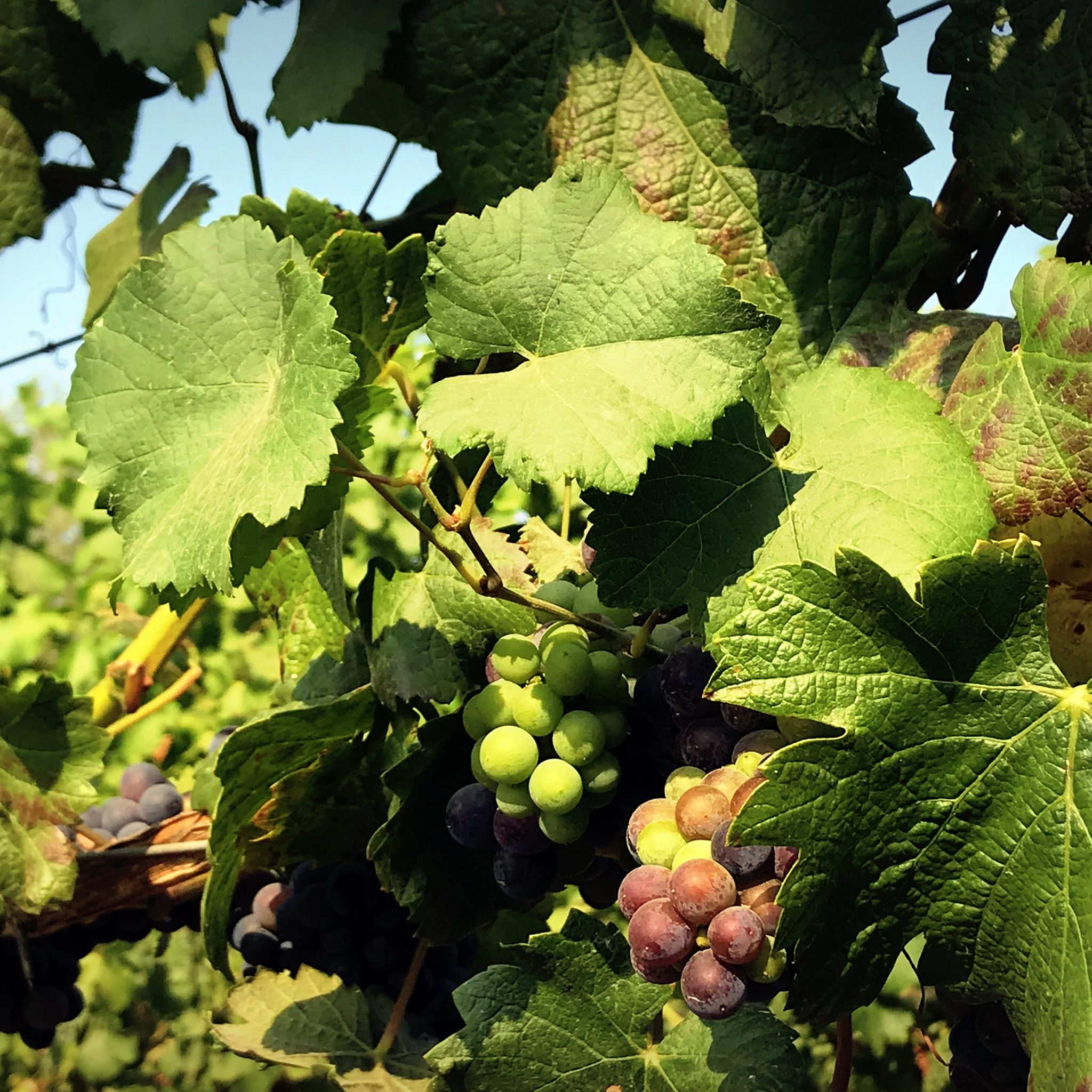 Oregon has established itself as a producer of world class Pinot Noir.